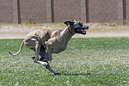 Great Dane curled in a tuck chasing a lure during a fast cat event