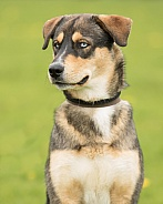 Blue-Eyed Crossbreed