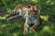 Bengal Tiger Full Body Lying Down