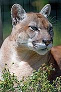 North American Puma