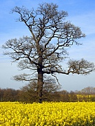 Oak tree in early Spring