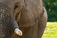Close Up Half Face Shot Of African Elephant