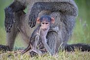 Baby Baboon (wild)