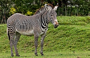 Grevy's Zebra Full Body Shot