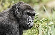 Gorilla Side Profile