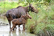 Moose, cow and calf