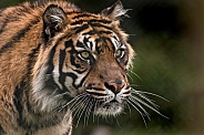 Sumatran Tiger Focused And Stalking