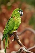 Hahn's Dwarf Macaw
