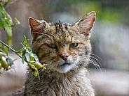 Grumpy wildcat