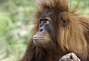 Juvenile Sumatran Orangutan Close Up Looking Up