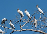 Wood Storks in a Tree