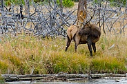 Bull Elk along the Madison River