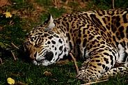 Jaguar Asleep