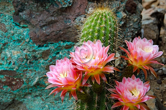 Torch Cactus with Chrysocolla