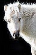 Miniture Shetland Pony close up