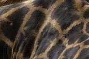 Rothchild's Giraffe Pattern