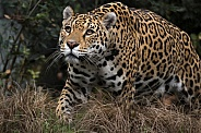 Female Jaguar (Panthera Onca)
