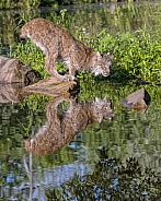 Canada Lynx with Reflection