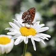 Heath Fritillary Buttefly