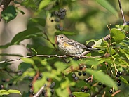 Juvenile Yellow-rumped Warbler in Alaska