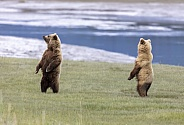 Two brown bears standing on their hind legs