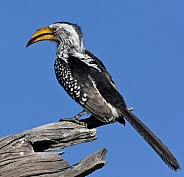 Yellowbilled Hornbill - Botswana