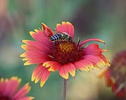 Honey Bee on Fireweel Flower