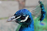 Male Peacock Close-Up