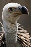 Close up Griffon Vulture