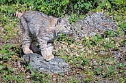 Bobcat on the Rocks