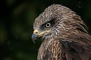 Black Kite Close Up Head Shot