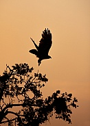 Silhouette of a hawk taking off