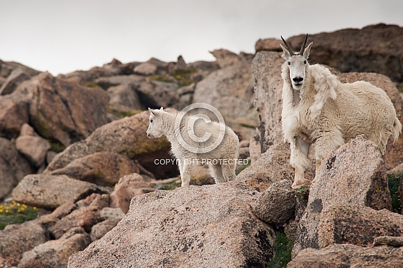 Mountain goat with kid
