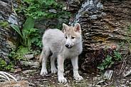 A White Wolf Puppy