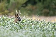 The European roe deer