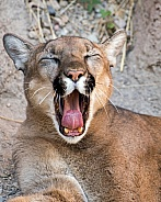 Mountain Lion Yawn