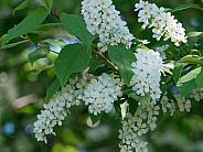 Common Chokecherry Flower Clusters in Alaska