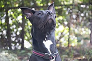 Staffordshire terrier mix (Maya) Dog