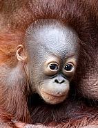 orangutans baby