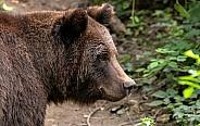 European Brown Bear Side Profile