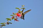 Hummingbird - Young Broad-billed