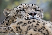 Snow Leopard Resting