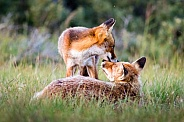Young fox and parent