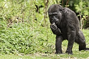 Young Western Lowland Gorilla Full Body
