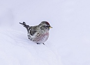 Common Male Redpoll on the Snow