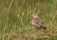 Skylark on the Ground