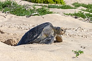 Pacific Green Turtle - Galapagos Islands