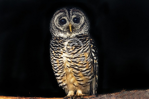 Full Body Chaco Owl