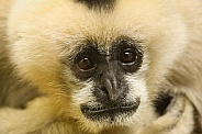 White-faced Gibbon