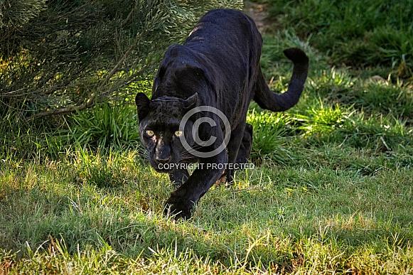 Leopard - Stalking Black Leopard